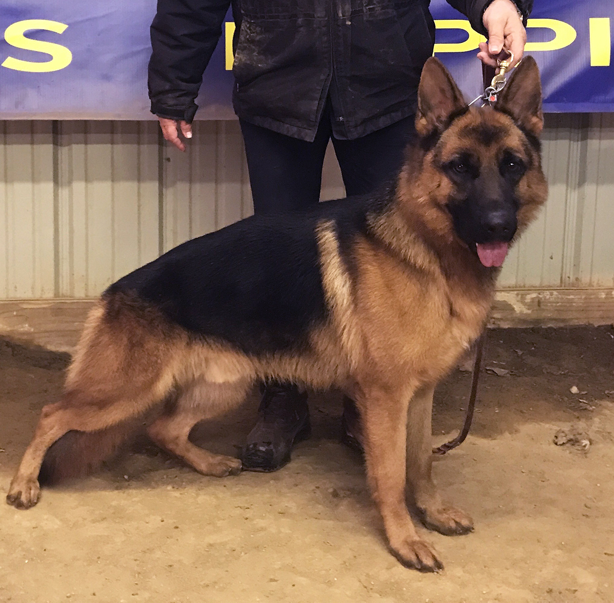 german shepherd for sale in Spring Grove, IL