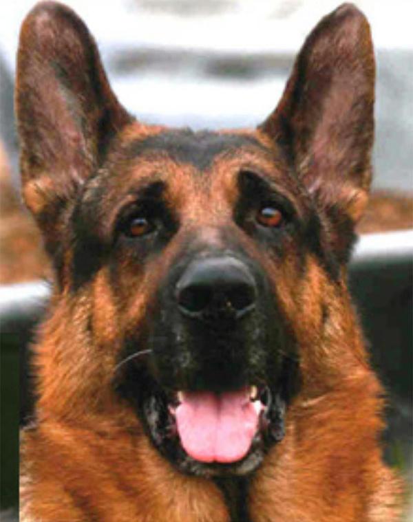 German Shepherd headshot