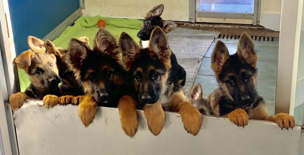 Puppies ready for training