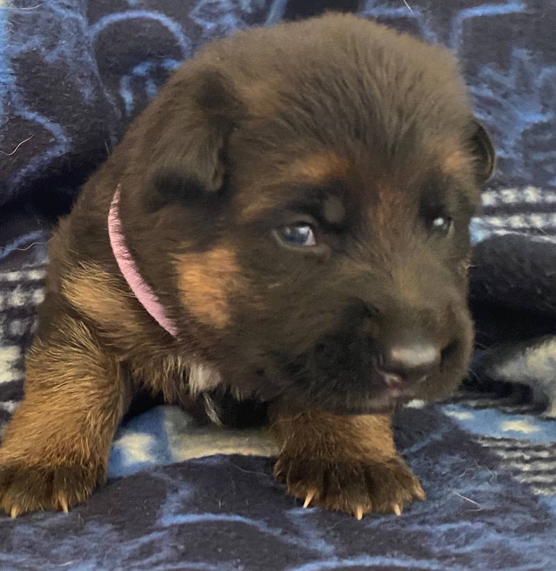 German Shepherd Puppy Envy