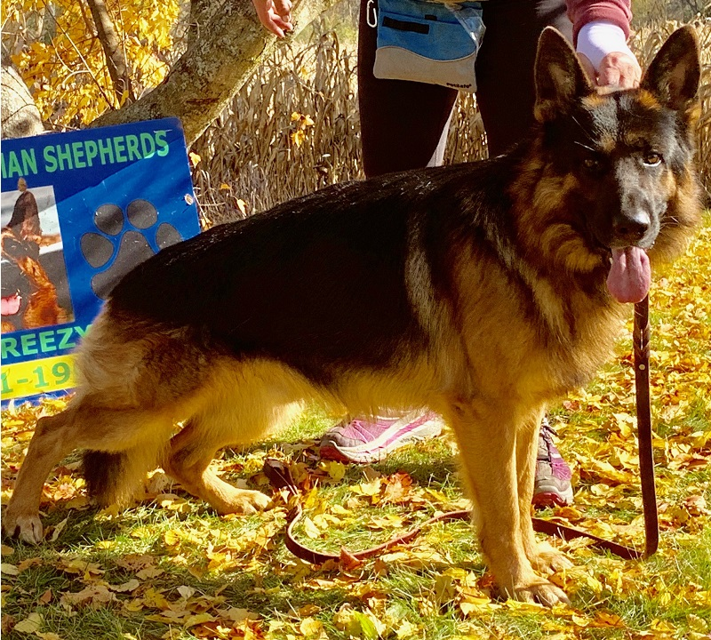 Male West German Shepherd