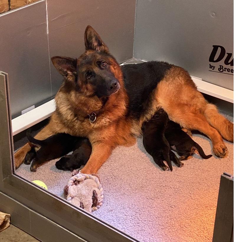 Hexi and Tyrus German Shepherd puppy litter