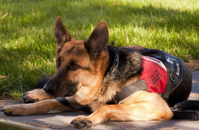 Working German Shepherd service dog