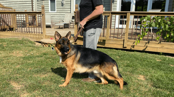 German Shepherds for sale in Spring Grove Illinoi