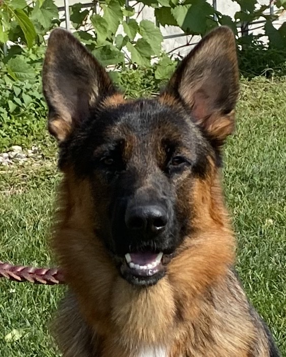 German Shepherd puppy for sale in Chicago