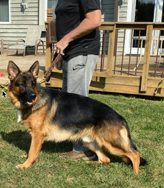 german shepherd for sale in illinois
