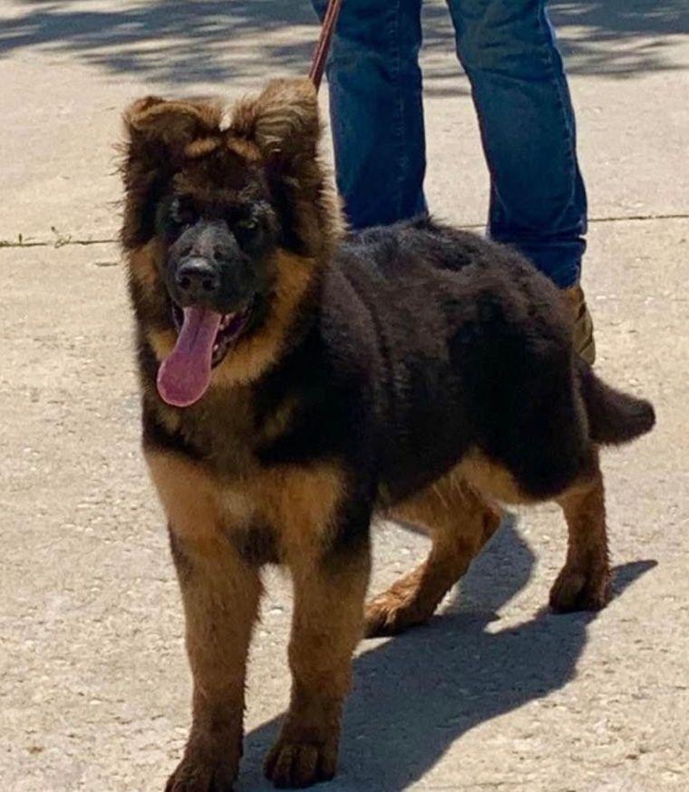 Adult long hair German Shepherd