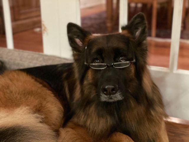 Long Coat German Shepherd with glasses
