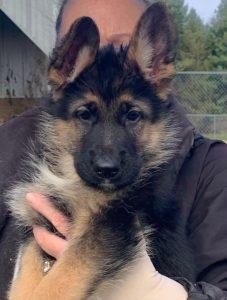Young German Shepherd
