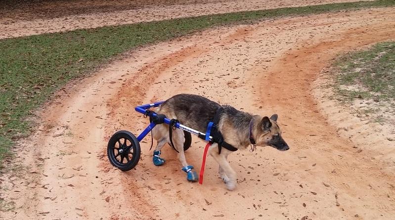 German Shepherd in wheelchair