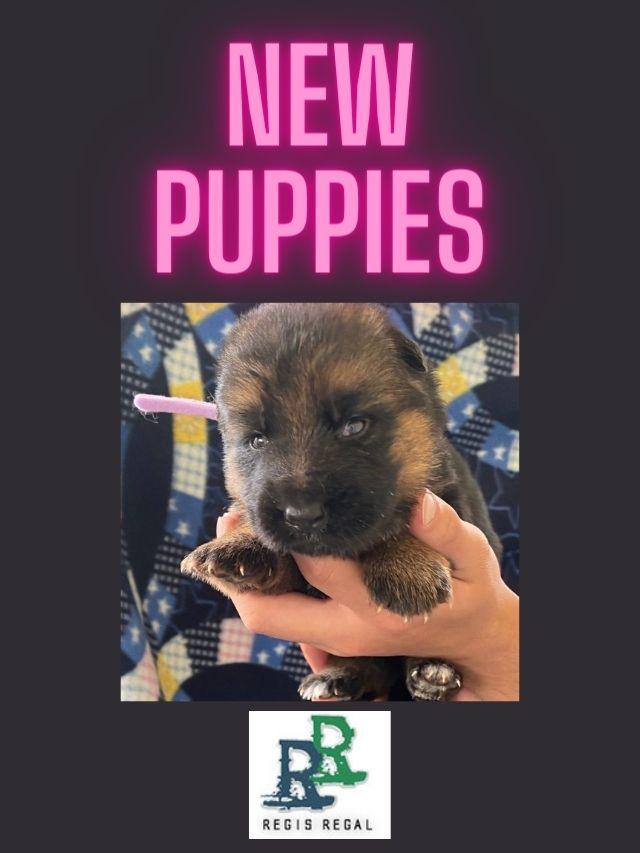 New German Shepherd puppies