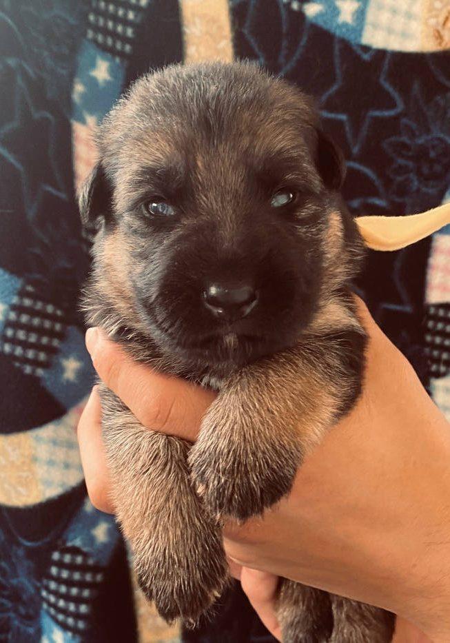 German Shepherd Puppy Ely